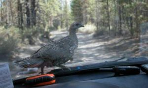 A blue grouse checking out a carload of birders