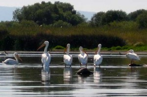 White pelicans in the sun