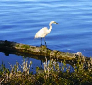 An egret in the marsh